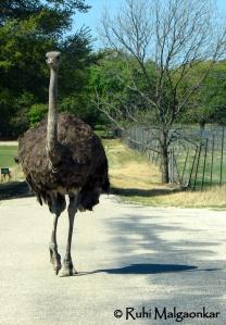 Ostrich - Ramp walk