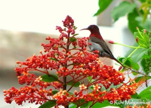 Red Crimson Sunbird