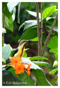 Purple Sunbird in eclipse plumage